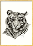 Portrait of a Bengal Tiger done in pen and ink. Illustrations of pets, horses and other animal-wildlife by portrait artist Shafali - Also Drawings, Sketches of Cats, Kittens, Dogs, Pups, and people.