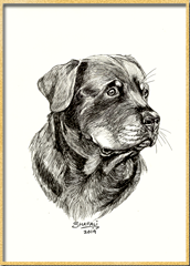 Portrait of Rottweiler done in pen and ink by pet portrait artist Shafali - Cats, Kittens, Dogs, Pups and Wildlife drawings, sketches, art.