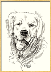 Portrait of Golden Retriever done in pen and ink - Pet Portraits by Shafali - Animal drawings, Sketches, Wildlife art etc.